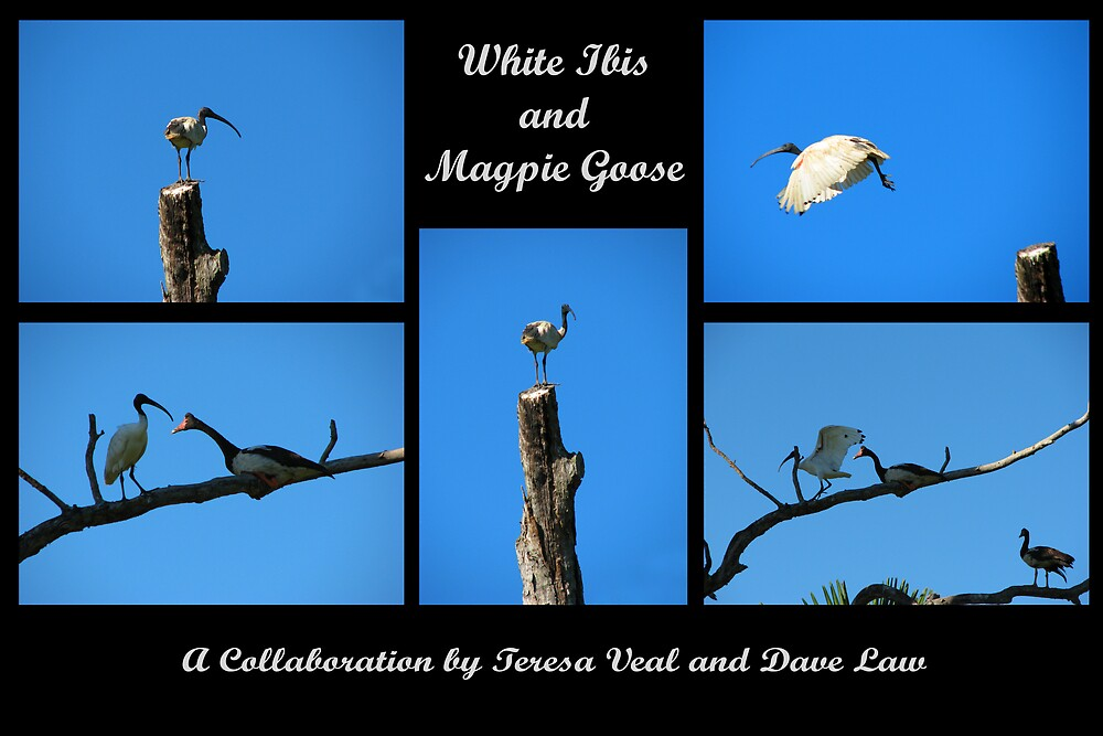 White Ibis and Magpie Goose by Dave Law