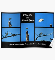 White Ibis and Magpie Goose Poster