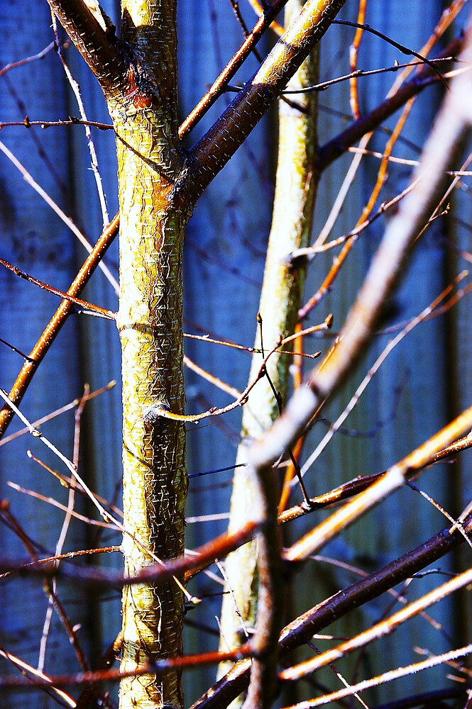 Silver Birch in Winter by housenbaby