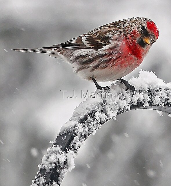 Red Poll -- Cold, But Hungry by T.J. Martin