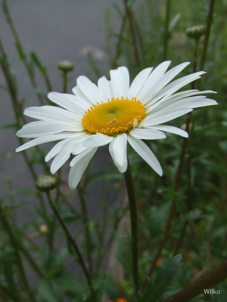 Daisy by Wilko