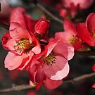Beautiful Flowering Quince Romance by Joy Watson