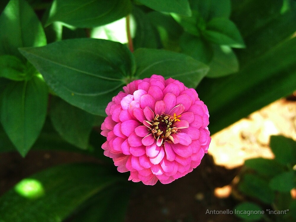 "zinnia by Antonello Incagnone ""incant"""