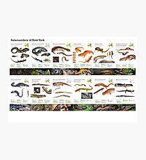 Salamanders of New York Photographic Print