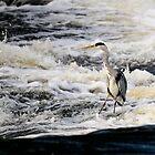 Heron on Graiguenamanagh Weir, River Barrow, County Kilkenny, Ireland by Andrew Jones
