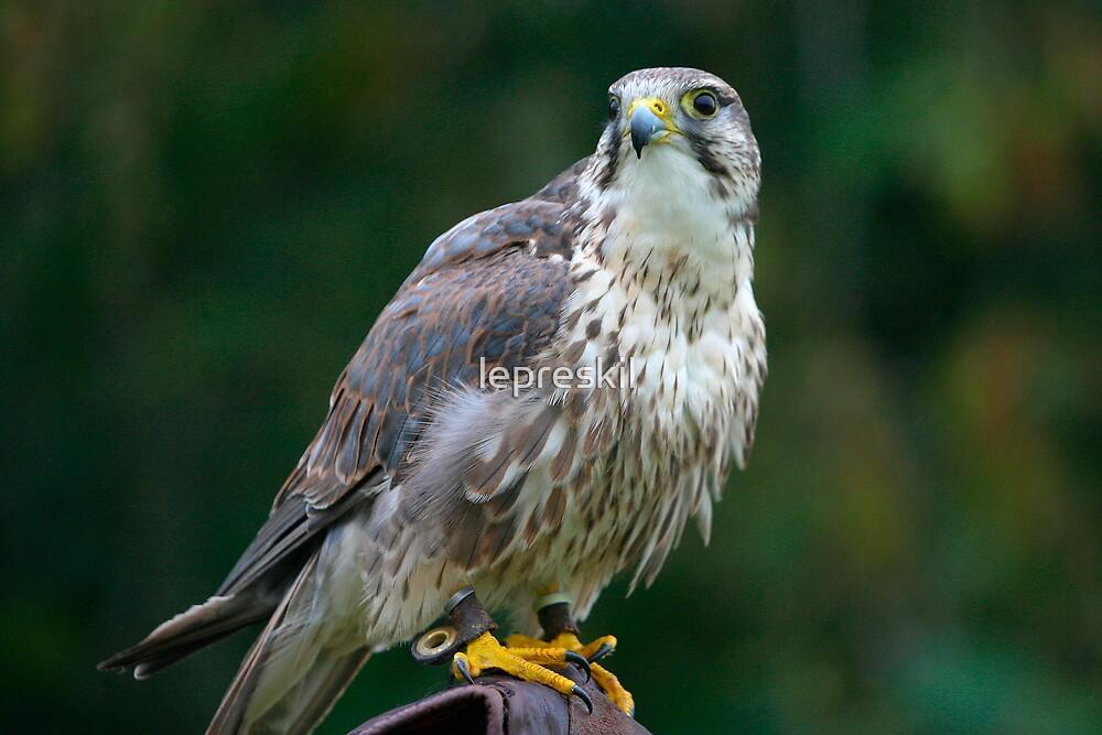 Saker Falcon by lepreskil