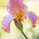 Afternoon Delight Iris by JennyRainbow