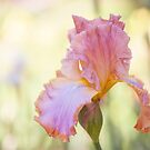 Afternoon Delight iris close up by JennyRainbow