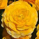 Golden Ranunculus by Penny Smith