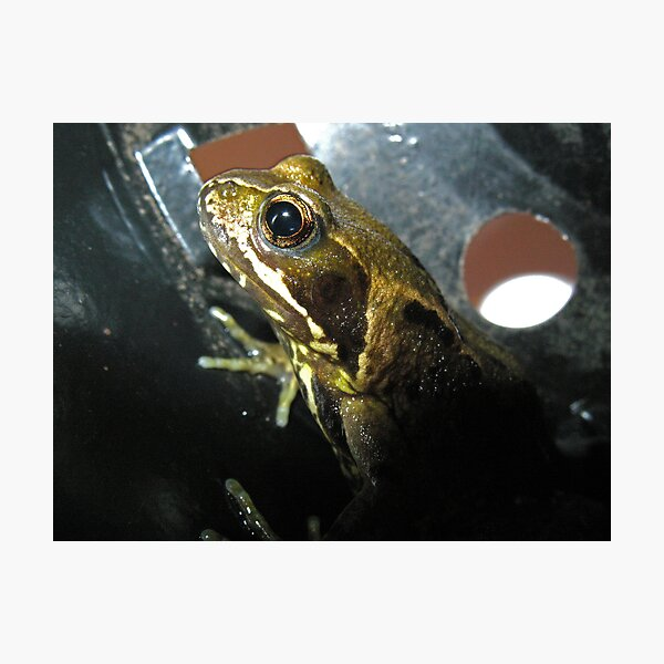 Frog in a Flowerpot Photographic Print