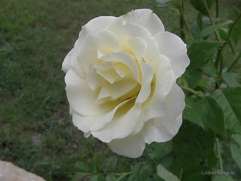 White Beauty by Luann Gingras