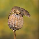 Harvest Mouse on seedpod by Val Saxby