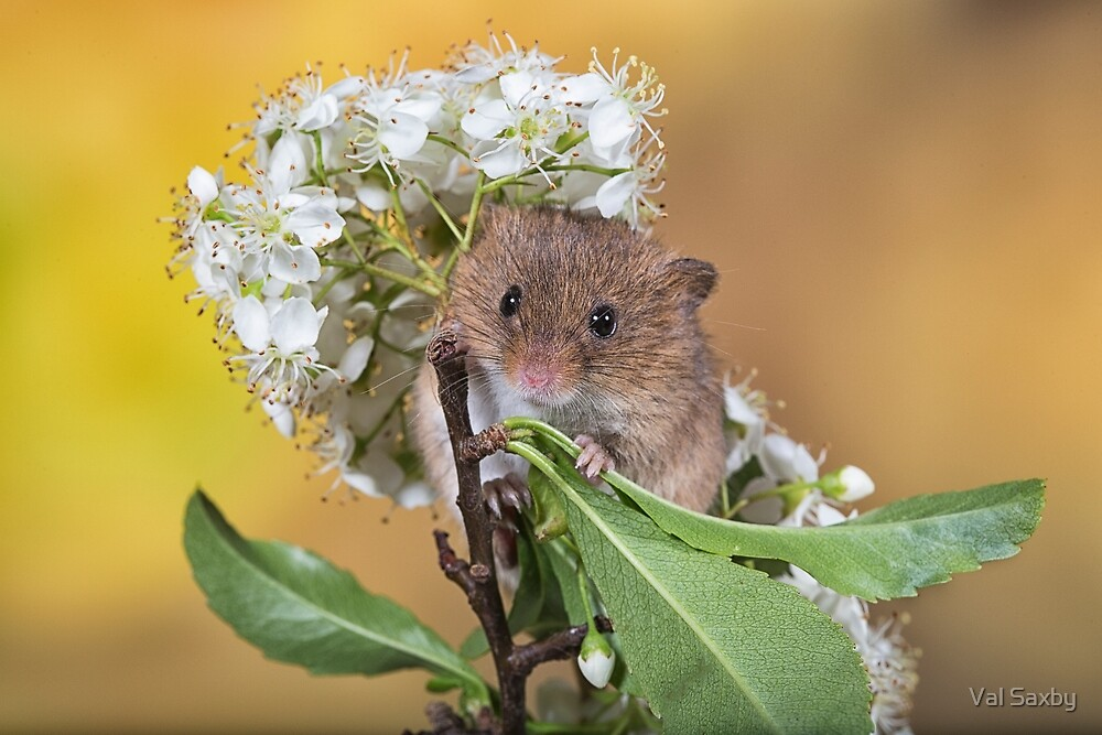 Cute Harvest Mouse by Val Saxby