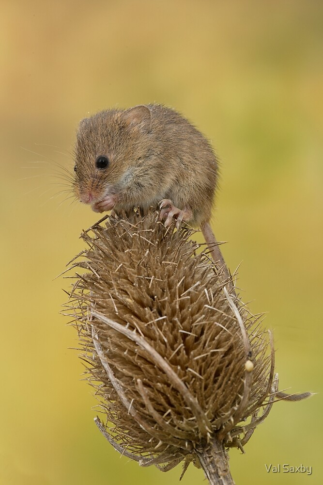 Harvest mouse on teasal by Val Saxby
