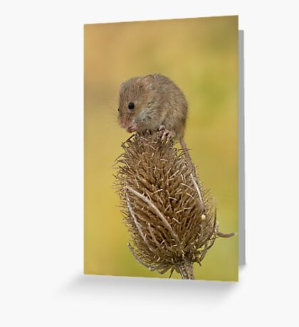 Harvest mouse on teasal Greeting Card