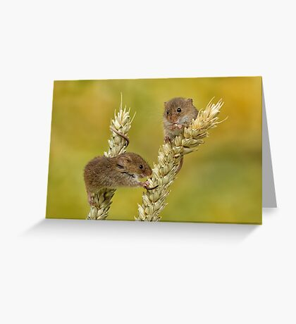 harvest mice on corn Greeting Card