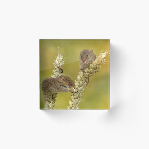 harvest mice on corn Acrylic Block