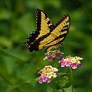 Tiger Swallowtail by Lisa Putman