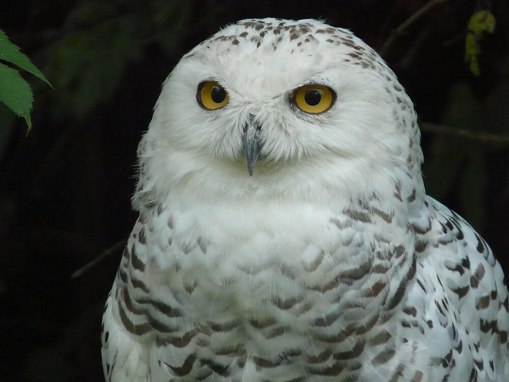 Snowy Owl female by annkelliott