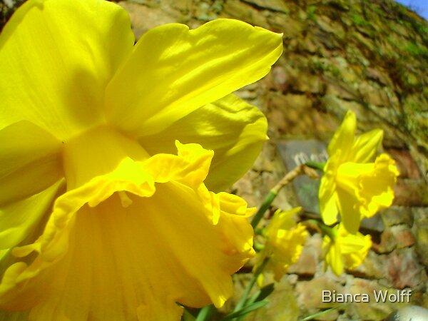 The Ruedesheim Daffodils by Bianca Wolff