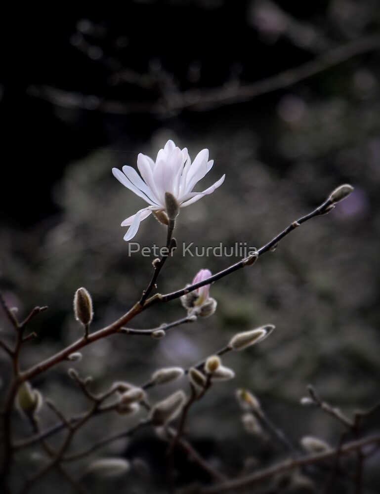 The First Messenger of Spring by Peter Kurdulija