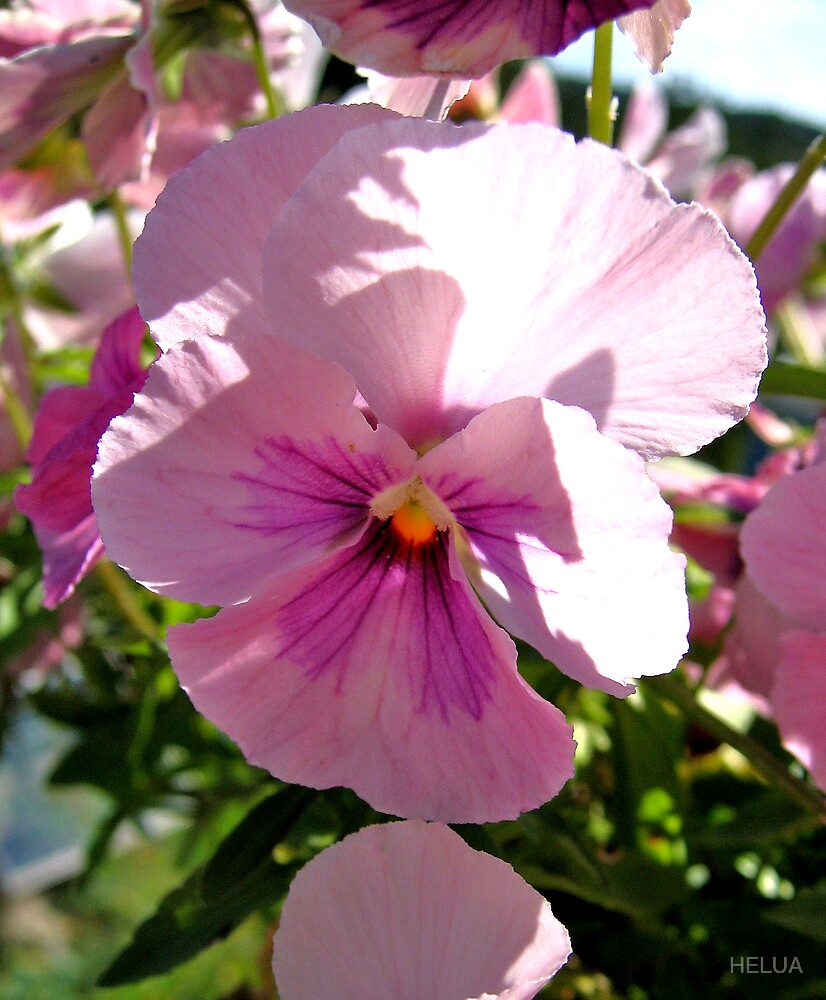 Pink Flowers - Pansy by HELUA