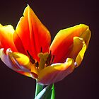 81717 tulip by pcfyi