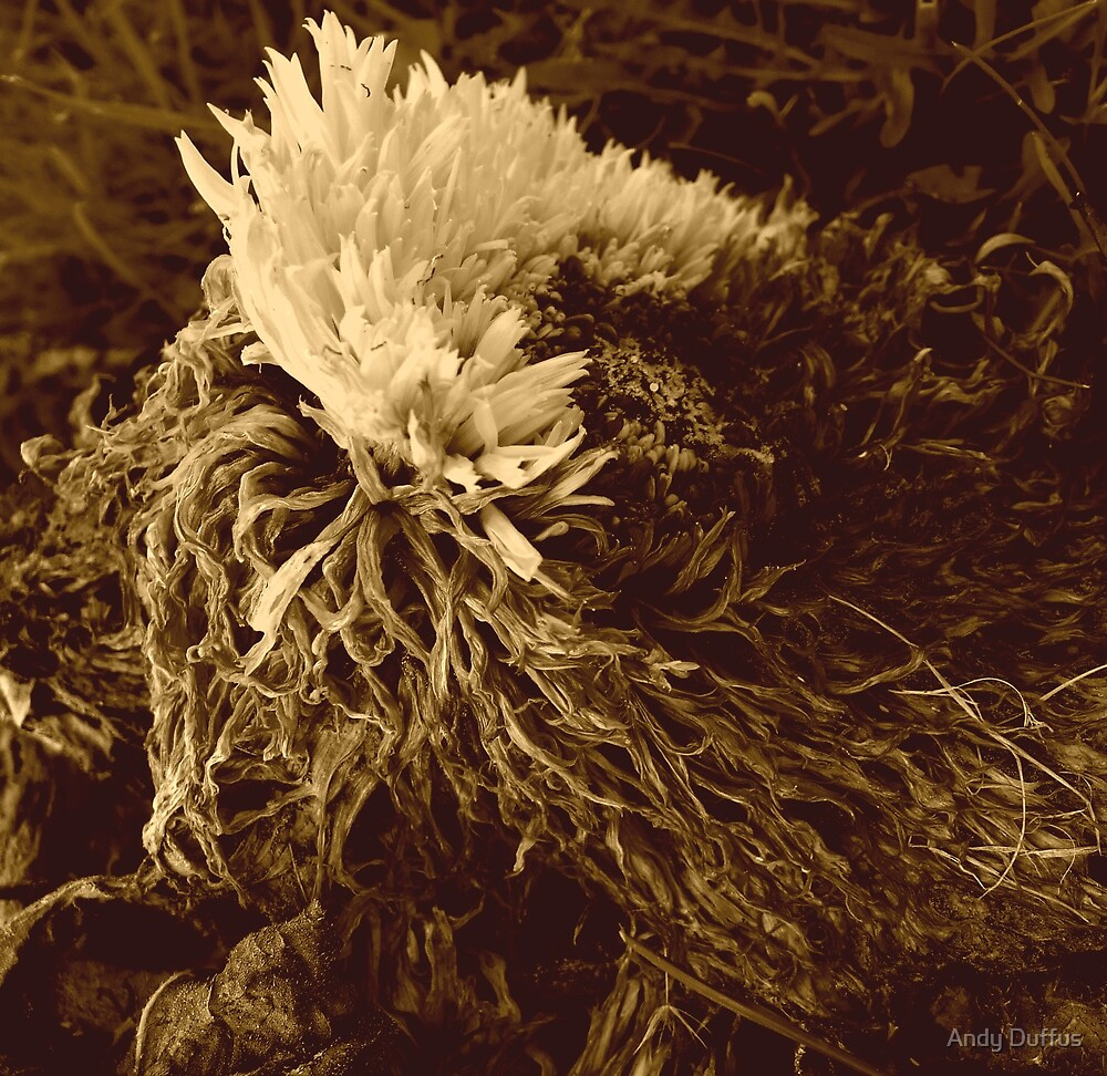 Dying Sunflower No.3 by Andy Duffus