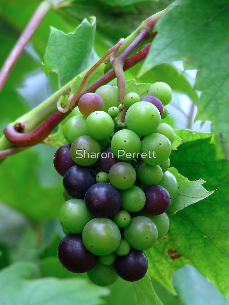 Grapes by Sharon Perrett