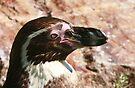 Black-footed Penguin  by Anne-Marie Bokslag