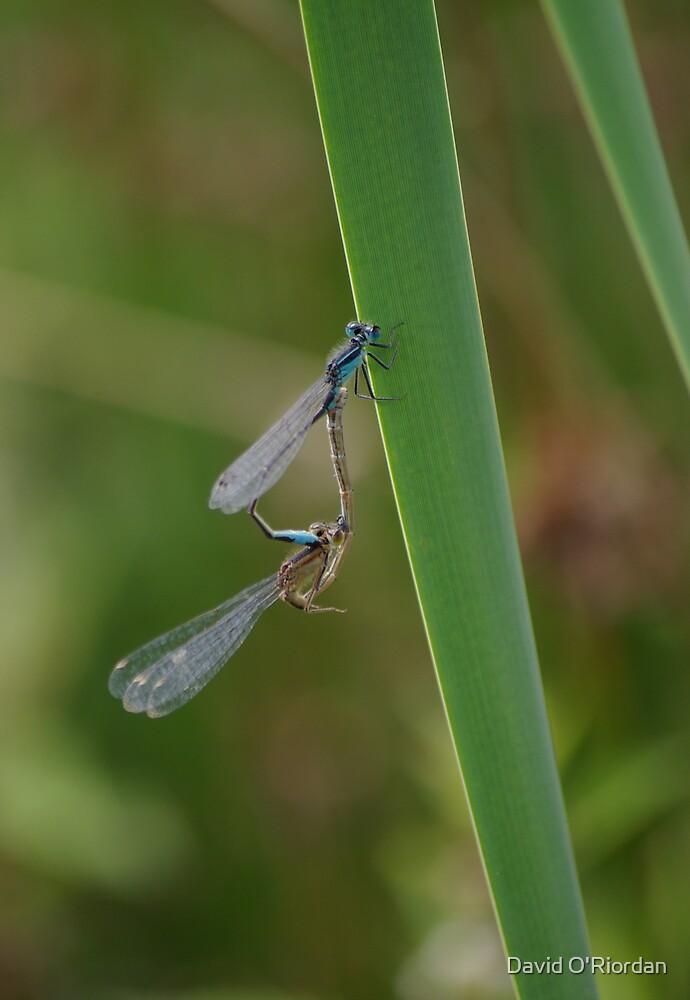 Dragonflies by David O'Riordan