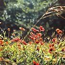 Texas. Indian blanket wildflowers. by Victoria Avvacumova
