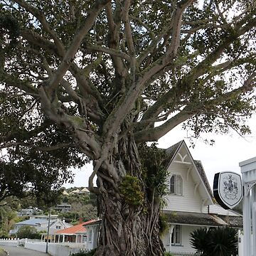 Moreton Bay Fig Tree Russell Bay of Islands NZ by Ainslie1