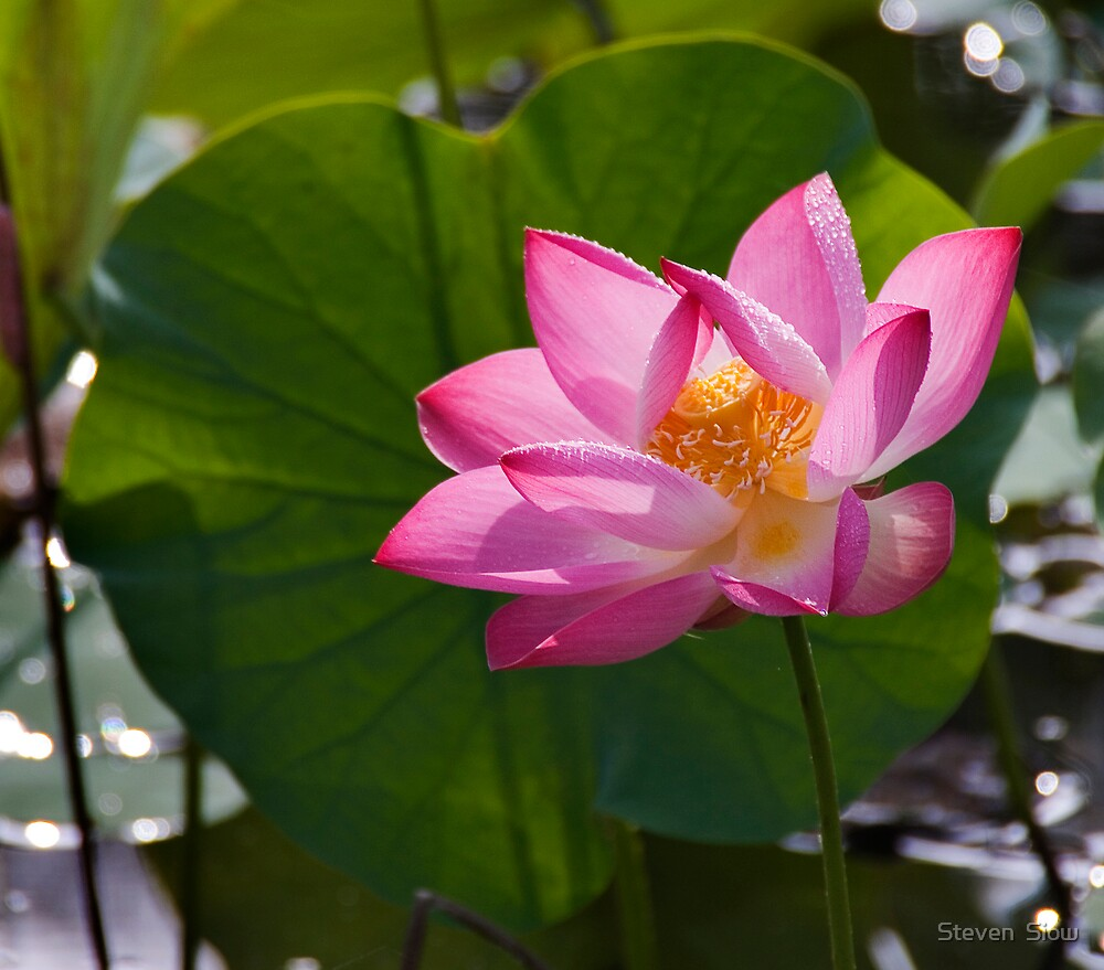 The Pink Beauty by Steven  Siow