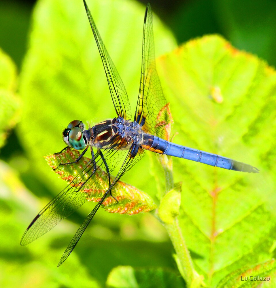 Dragonfly by Lu Collazo