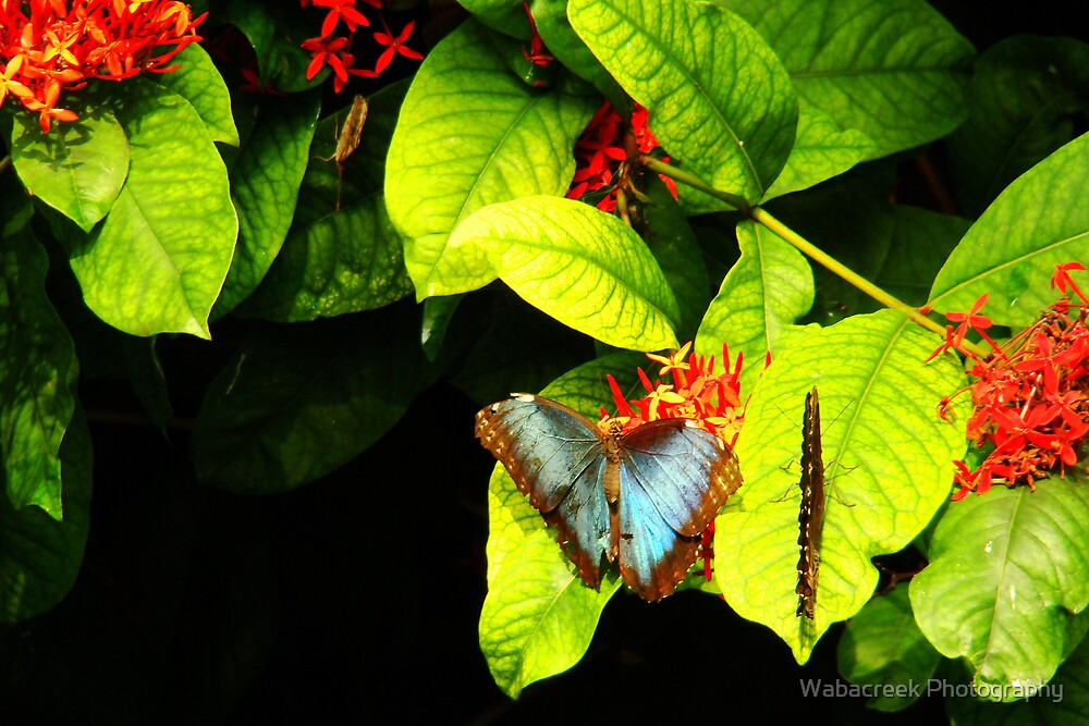 Blue Morpho - Open and Closed by Jocelyne Phillips