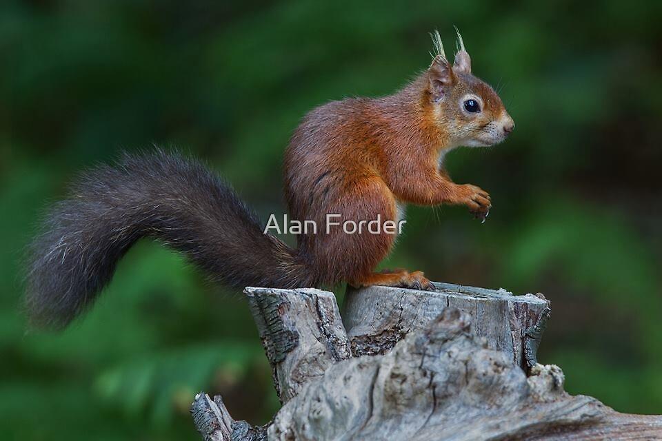 Rotes Eichhörnchen. von Alan Forder