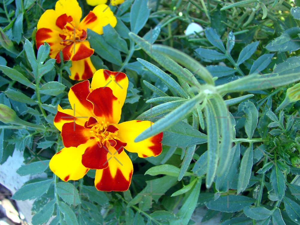 Variegated Marigolds by Kimberly Miller