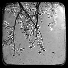 Blossoms in Black & White - Through The Viewfinder by Kitsmumma