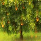 Der Orangenbaum by Angelika  Vogel