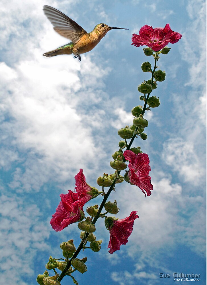 Hummer and the Hibiscus by Sue  Cullumber