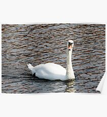 White swan in a pond looks straight in camera Poster