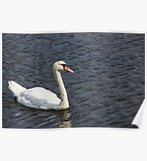 Soggy white swan in a pond swims in pond, side view Poster