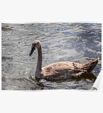 Single brown swan duckling swims in pond Poster