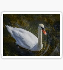 Adult white swan floats in clear water top view Sticker