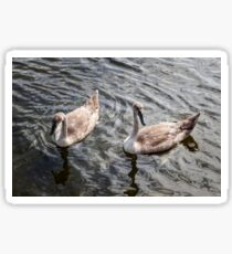 A pair of young swans swimming in a pond Sticker