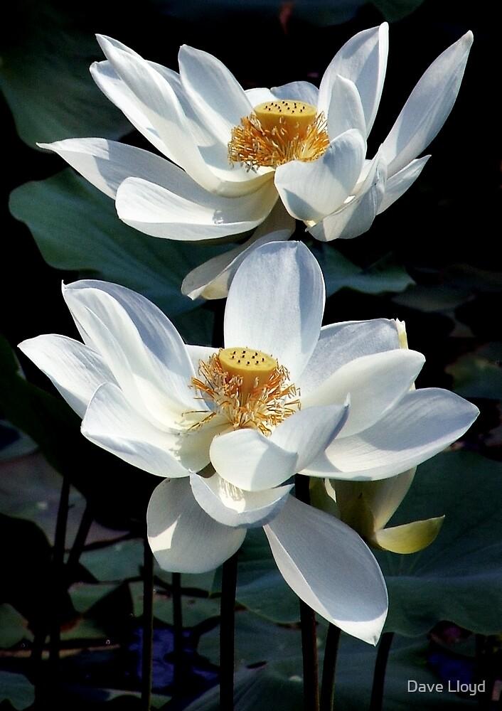 White Lotus Pair by Dave Lloyd