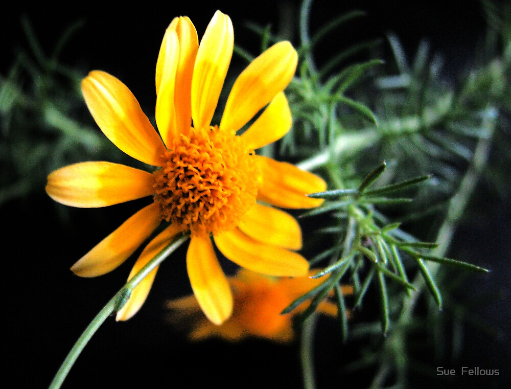 """Little Sunshine"" by Sue  Fellows"
