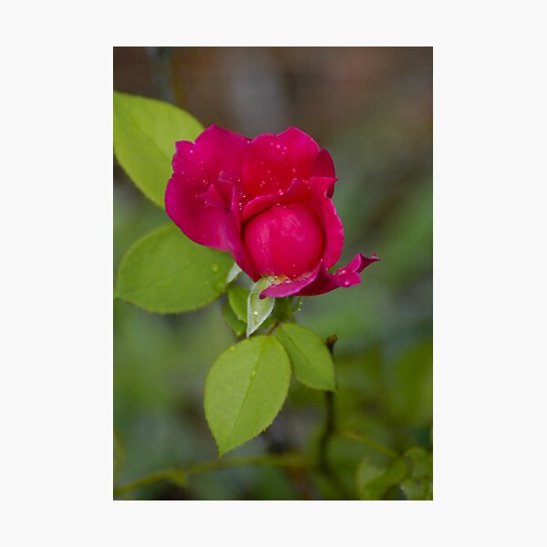 Red Rose Bud Photographic Print