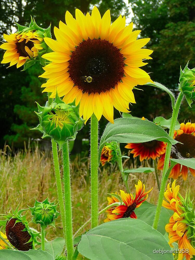 Sunflowers by debjones1958